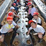 2016年2月25日 中有知小学校児童がジャガイモの種イモを植えました