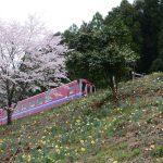 2016年4月4日 水仙の花が見ごろを迎えています