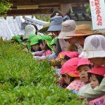 2016年5月6日 松美保育園で茶摘み体験が行われました