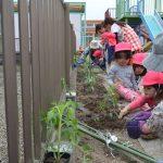 2016年5月6日 かえで保育園で野菜の苗植えが行われました