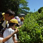 2016年5月12日 牧谷小学校3年生が茶摘みを行いました