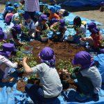2016年5月12日 美濃ふたば幼稚園で野菜の苗植えが行われました
