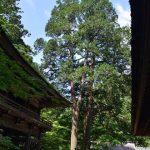 皆さま暑い日々が続いておりますが、長良川沿いにある洲原神社は巨木が茂り涼しくなっております。