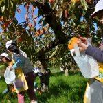 2016年11月16日 美濃小学校の児童が柿の収穫体験をしました。