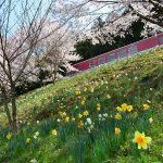 2017年4月12日 水仙の花が見ごろを迎えています