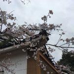 [4月7日(金) 小倉公園さくら開花状況]