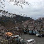 [4月6日(木) 小倉公園さくら開花状況]