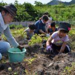 2017年6月24日 ジャガイモ収穫体験が行われました