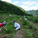 2017年6月4日 コウゾ畑の草刈り、間引き作業が行われました