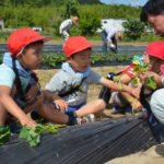 2017年6月13日 中有知小児童がさつまいもの苗植えを行いました