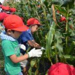 2017年7月3日 中有知小学校の児童がトウモロコシを収穫しました
