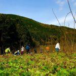 美濃楮(コウゾ)の収穫作業