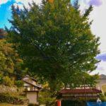 廃校後のイチョウの木。