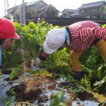 2017年11月15日 中有知小児童がダイコンの収穫を行いました