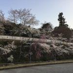 〈美濃市桜情報③〉