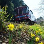 2018年3月28日 水仙の花が見ごろを迎えています
