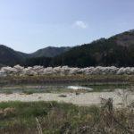 小倉の桜並木と板取川。