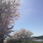 〈美濃市桜情報〉