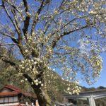 3月23日の立花ふれあいセンターにあるハクモクレン。
