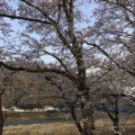 〈美濃市桜情報④〉