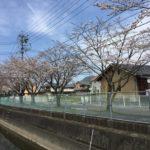 暖かい日が続き、一気に美濃市街の桜が開花した印象です☺️