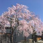 うだつの町並み、番屋前のポケットパークの枝垂れ桜が、見頃です☺️