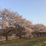 〈美濃市桜情報②〉