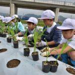 2018年4月12日 中有知小学校児童がトウモロコシの苗を植えました