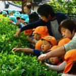 2018年5月9日 松美保育園で茶摘み体験が行われました