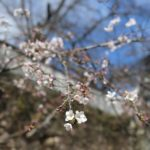 Mino City OGURA-KOUEN Park cherry blossoming information   March 31, 2013]