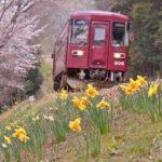 2019年4月5日 水仙の花が見ごろを迎えています