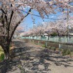 事務所の裏の桜がきれいに咲いています。