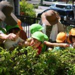 2019年5月8日 松美保育園で茶摘み体験が行われました
